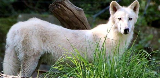 """Die schöne Wölfin """"Bjelle"""" hat sich im Tierpark Herberstein bereits eingelebt."""