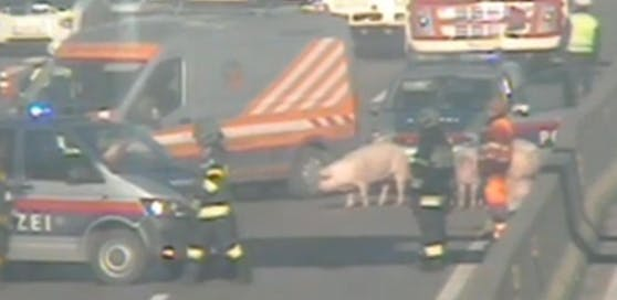 Schweinerei auf der Autobahn