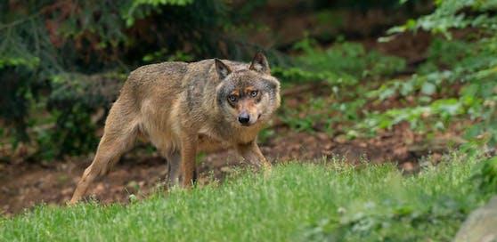 Schlug der Wolf wieder in Niederösterreich zu?
