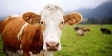 Deutsche Urlauber von österreichischer Kuh attackiert