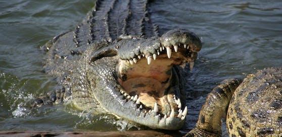Im Magen eines toten Krokodils wurde eine medizinische Stahlplatte gefunden.
