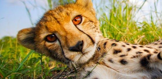 "Universum: ""Meine Geparden-Familie"""