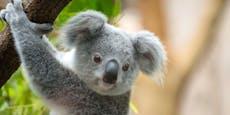 Sex-Krankheit bedroht Koalas – Forscher greifen durch