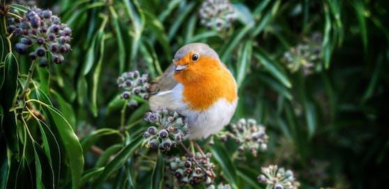 Ob Spatz, Taube oder wie hier ein Rotkehlchen: Zeig uns deine schönsten Fotos von Vögeln!