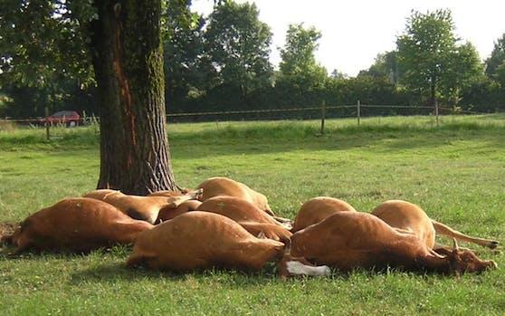 Kühe bei Unwetter durch Blitz erschlagen. Archivbild, 2008