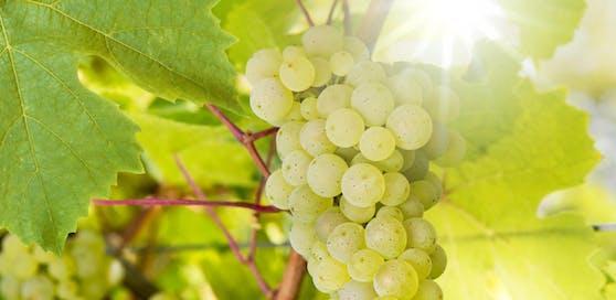 Die ewige Hitze macht den österreichischen Trauben zu schaffen. (Symbolbild)