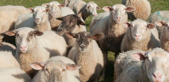 Ein trächtiges Schaf wurde offenbar von einem Wolf gerissen.