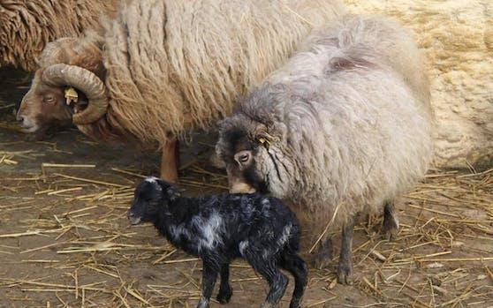 """Im Linzer Zoo kam zu Ostern ein """"Oster-Lamm"""" zur Welt."""