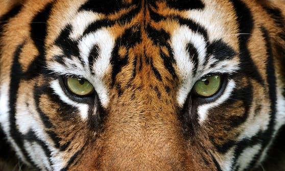Er zählt wohl zu den schönsten Großkatzen: Der Tiger.
