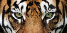 Zum internationalen Tag des Tigers ein paar Fakten