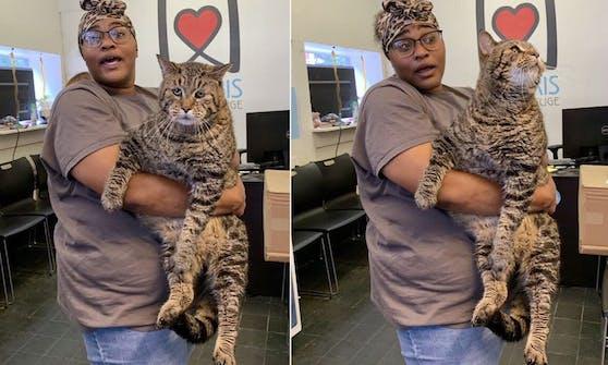 """Der dicke """"Beejay"""" wiegt fast 12 Kilogramm und wurde kürzlich in einem Tierheim in Philadelphia abgegeben."""