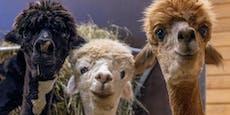 Helfen uns bald Alpakas im Kampf gegen das Coronavirus?