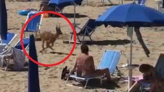 In Bibione rannte ein Reh über den Strand.