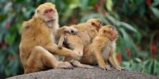 Reservats-Makaken: Erstes Alpha-Weibchen in 70 Jahren