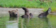 Olympia ruft! Vier-Pfoten-Bär glänzt im Wasserballett