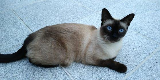 Die siebenjährige Siamkatze Gina verschwand spurlos aus dem 2. Wiener Gemeindebezirk.