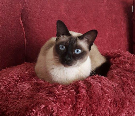 """""""Gina"""" ist eine siebenjährige Colour-point Siamkatze."""