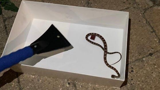 Bei der Schlange handelte es sich um eine Kornnatter.