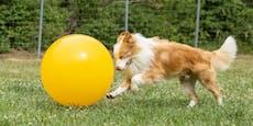 """Anpfiff! Wenn Hunde """"kicken"""" ist es Treibball"""