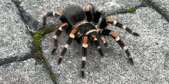 Die ausgebüxte Spinne.