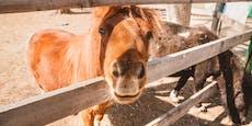 2-jähriges Mädchen von Pony in Wange gebissen