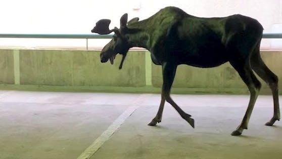 Öha! Ein 340 Kilogramm schwerer Elch verirrte sich in ein kanadisches Parkhaus.