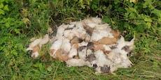 Fast 70 tote Meerschweinchen auf einer Wiese entsorgt