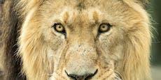 Welt-Löwen-Tag! So brüllt es sich in Schönbrunn