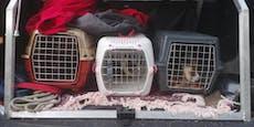 Sieben Meerschweinchen eiskalt im Wald ausgesetzt