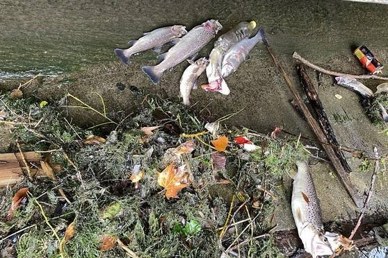 Massives Fischsterben in der Fischa