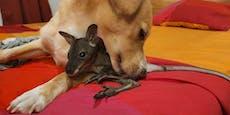 Toxischer Keim– Trauer um Kängurubaby Ferdinand
