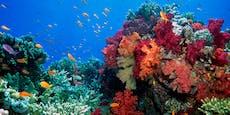Vielversprechende Therapie für bedrohte Korallen