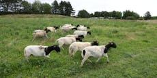 Schafiges Abenteuer für Kids am Liesinger Kellerberg