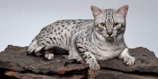 Diese Katzenrasse ist mehr als 3000 Jahre alt