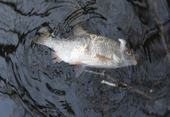 Zahlreiche Fische sind in den vier Teichen verendet. (Symbolbild).