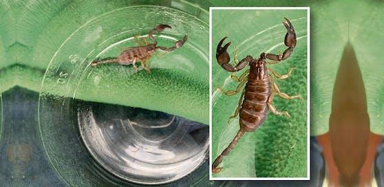 Der Skorpion kam als blinder Passagier aus dem Kroatien-Urlaub nach OÖ.