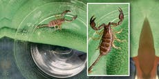 Dieser Skorpion landete bei der Polizei