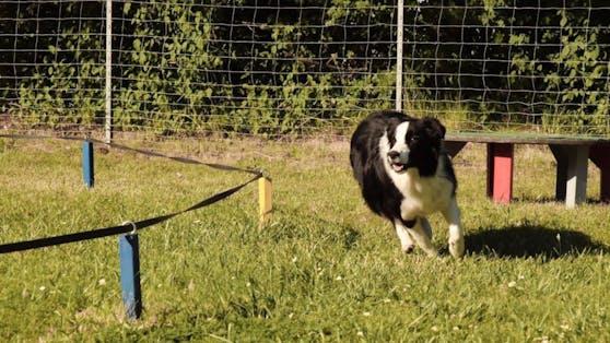 Beim Longieren werden Hunde über Distanz rund um einen Kreis geschickt - Tricks inklusive. Ein toller Spaß.