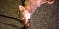 Wilder Wolf bei Autobahn-Crash mit Pkw getötet