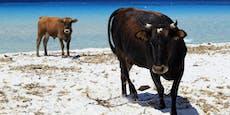Korsika schließt wegen aggressiver Kühe die Strände