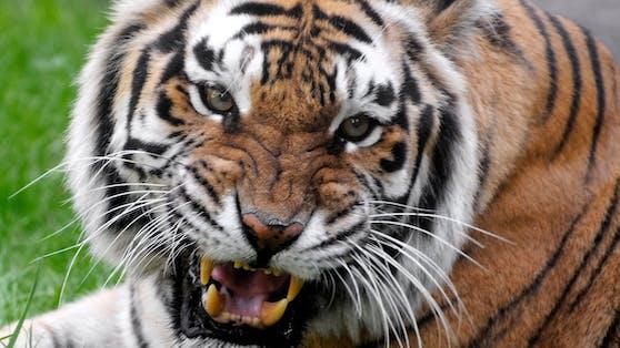 Einweiblicher Tiger soll einen Holfarbeiter angegriffen haben, um ihre Jungen zu füttern (Symbolfoto).