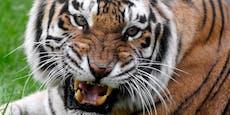 Tiger attackiert Holzfäller auf Plumpsklo, zerfetzt ihn