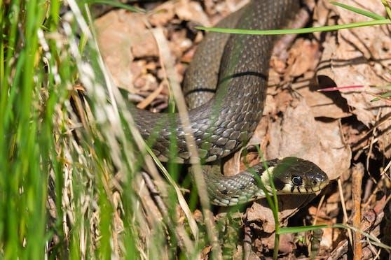 Warnung nach Schlangenbiss