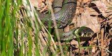 Mann nach Schlangenbiss im Spital– Gemeinde warnt