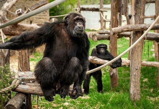 Schimpansen-Männchen Chita hat es einer Zoo-Besucherin besonders angetan.