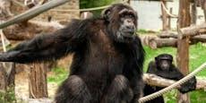 """Frau hat """"Verhältnis"""" mit Affe – Zoo greift hart durch"""