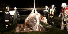 800 Kilo-Kuh mit Bagger aus Grube befreit