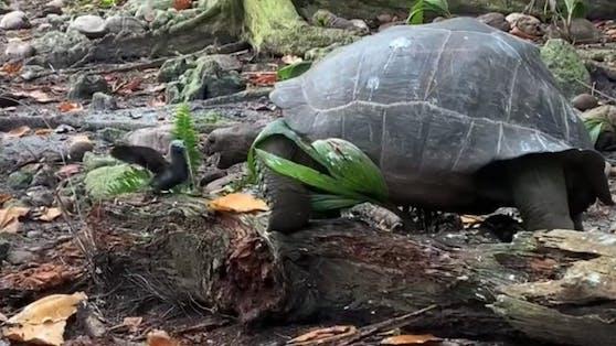 Obwohl langsam, gelingt es der Schildkröte, den Vogel zu erlegen.