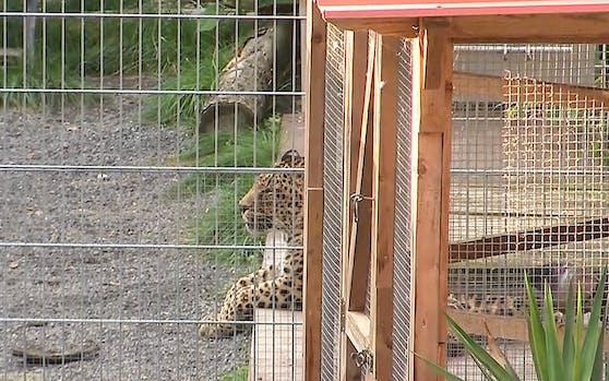 """In der """"Seniorenresidenz für Wildtiere"""" im Süden Sachsen-Anhalts wurde eine Frau von einem der beiden ehemaligen Show-Leoparden schwer verletzt."""