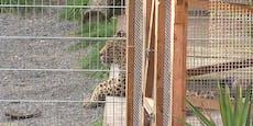 Leopard verletzte Frau bei Fotoshooting schwer